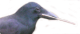leafstem crow logo clear