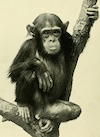 Polly_chimp
